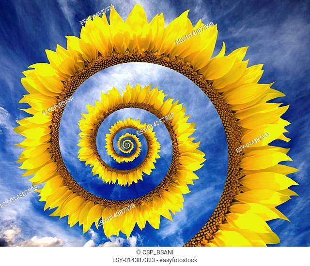 Abstract sunflower spiral