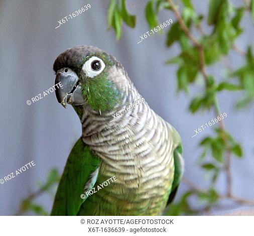 An indoor portrait of a conure from the chest up looking at the camera and a branch with leaves in the background