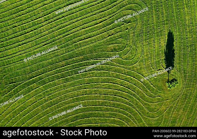 dpatop - 02 June 2020, Bavaria, Seeg: Webs of freshly cut grass are lying in the evening light to dry on a pasture around a tree (aerial view with a drone)