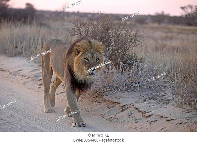 lion (Panthera leo), male walking on a sand track before sunrise, South Africa, Kgalagadi Transfrontier National Park