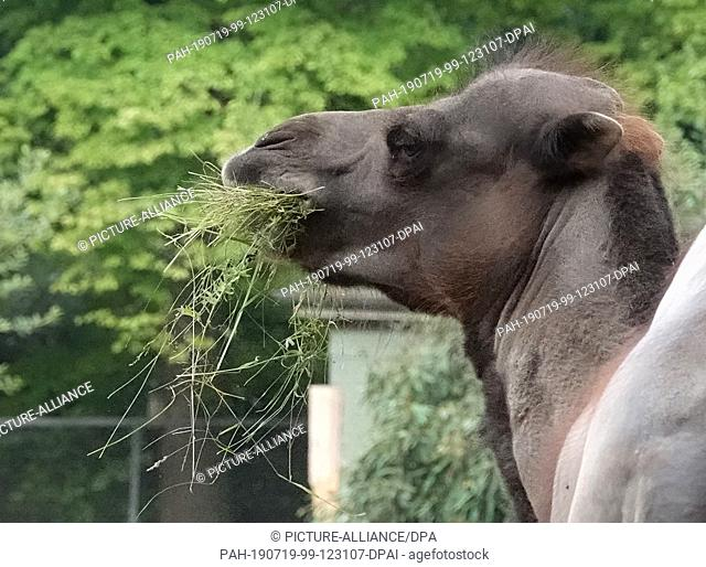 19 July 2019, Hamburg: A camel eats grass in Hagenbecks Tierpark, which was previously mown on the grounds of Hamburg Airport and is taken to Hagenbecks...