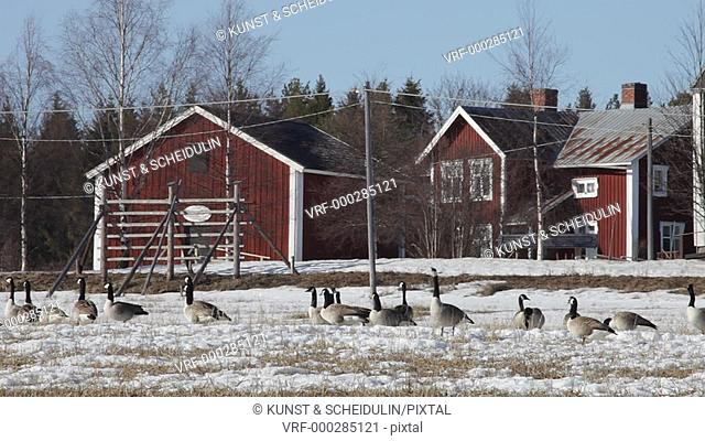 Spring in Sweden: Canada geese (Branta canadensis) have arrived in their breeding area. They are alarmed and more and more birds begin to call