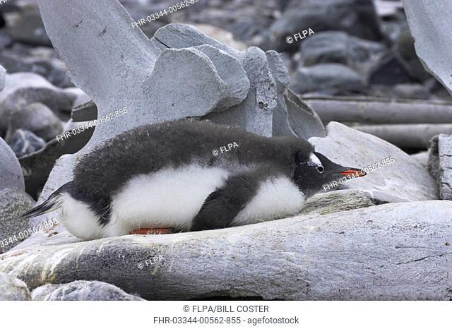Gentoo Penguin Pygoscelis papua chick, resting on whale bone, Port Lockeroy, Antarctic Peninsula, Antarctica
