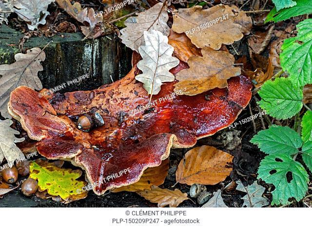 Beefsteak fungus / beefsteak polypore/ ox tongue (Fistulina hepatica) growing on tree trunk