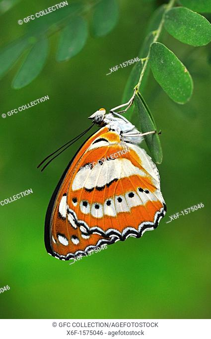 Tropical butterfly, Common Sailor, Neptis hylas