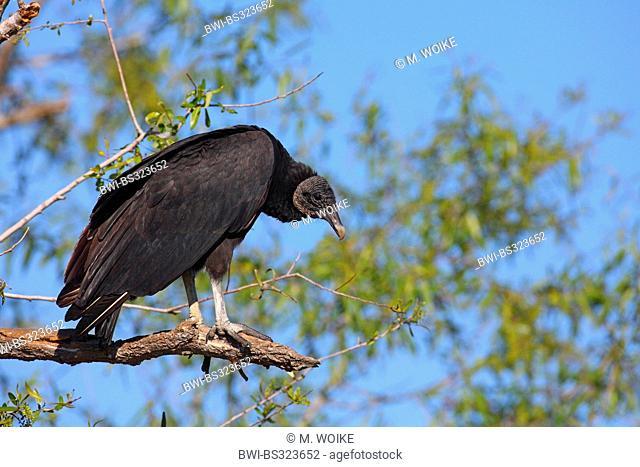 American black vulture (Coragyps atratus), sitting on a tree, USA, Florida, Myakka River State Park