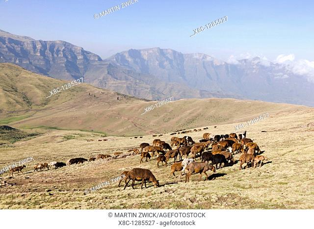 In the early morning herds are driven to the high pastures in the Ethiopian Highlands  The pastures are located in the Simien Mountains national park  The...