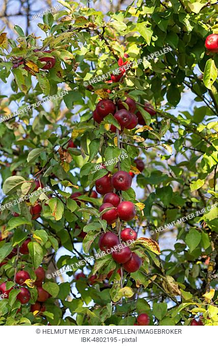 Red apples (Malus), on branch, Franconia, Bavaria, Germany