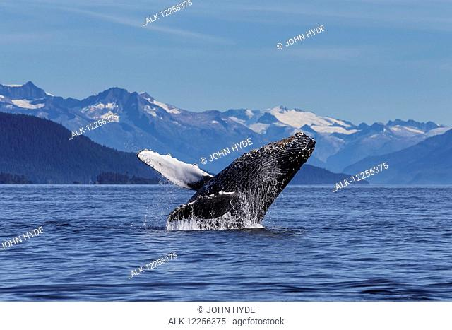 A young Humpback Whale leaps from the calm waters of the Stephens Passage near Tracy Arm, Southeast Alaska, USA