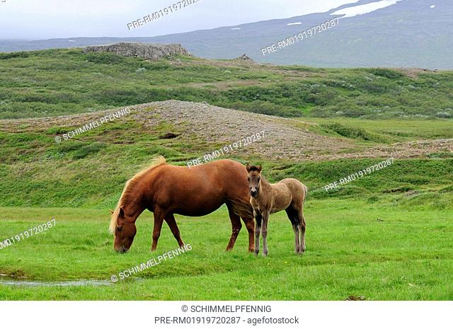 Mare and foal, Icelandic Horses, Iceland