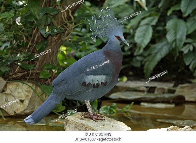 Victoria Crowned Pigeon , Victoria-Crowned Pigeon , Goura victoria , Indonesia
