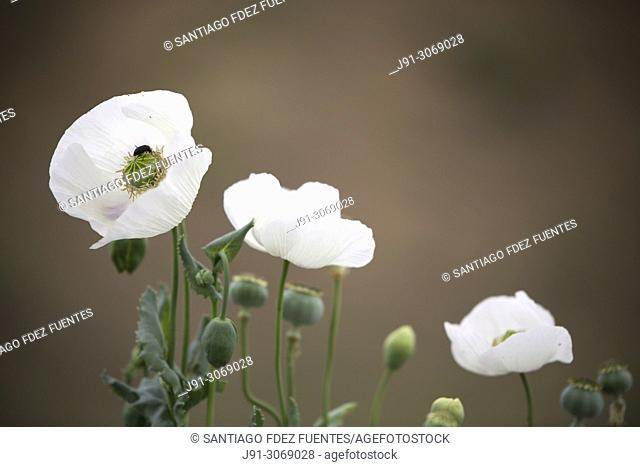 Heliotaurus ruficollis on opium poppy (Papaver somniferum). Spain