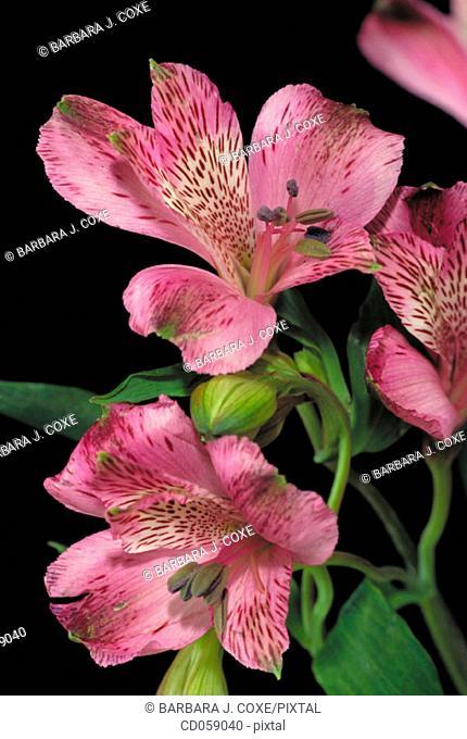 Lily of the Incas (Alstroemeria sp.)
