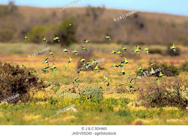 Budgerigar, Melopsittacus undulatus, New South Wales, Australia, Sturt Nationalpark, Tibooburra, flock flying