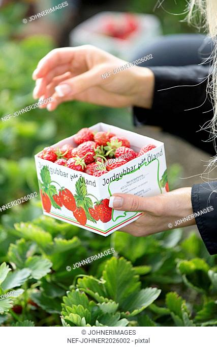 Woman picking strawberries, close-up
