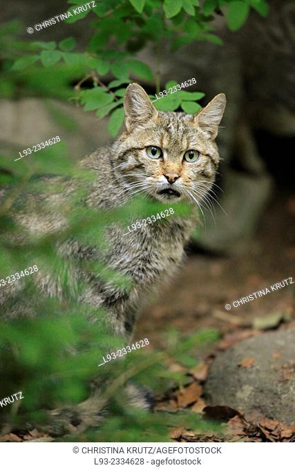 Wild Cat (Felis silvestris), Bayerischer Wald National Park, Bavaria, Germany