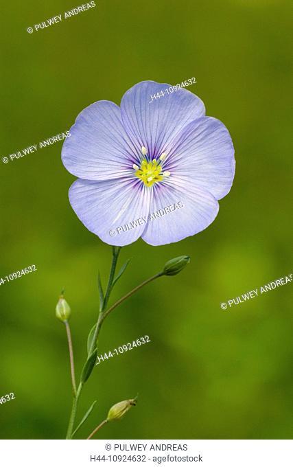 Perennial falx, flax, Linum perenne, Linumperenne, blossom, flourish, petals, flower