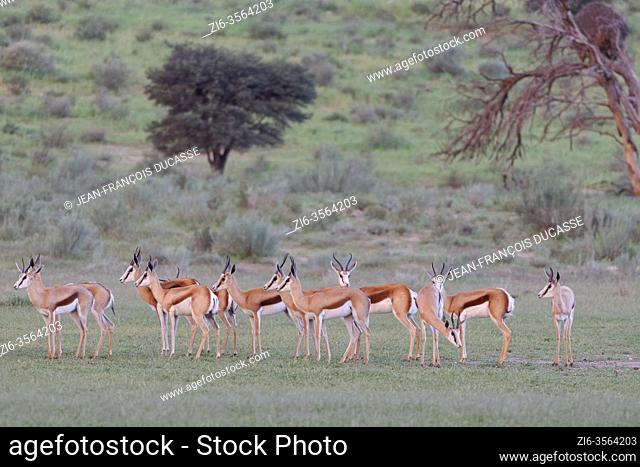 Springboks (Antidorcas marsupialis), herd, standing in the grassy Aob riverbed, at the end of the day, Kgalagadi Transfrontier Park, Northern Cape, South Africa