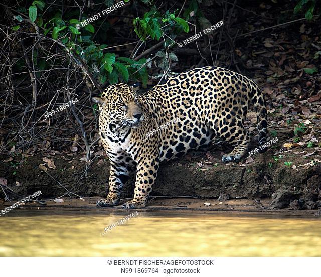 Jaguar, standing at a river bank, Pantanal, Brazil