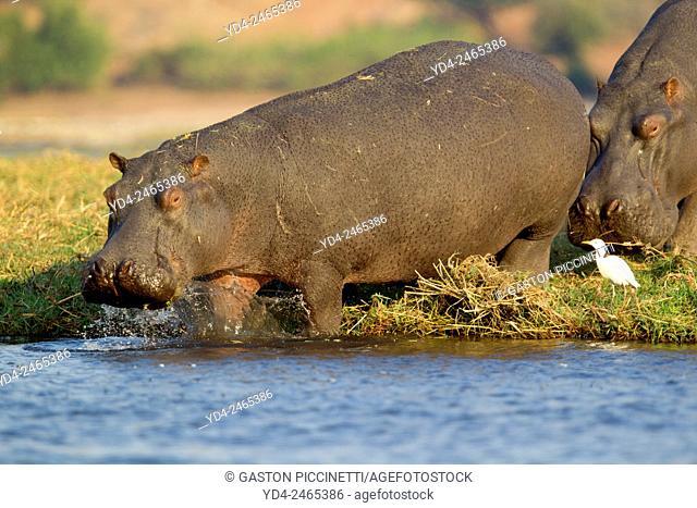 Hippopotamus (Hippopotamus amphibius), in the river, Chobe National Park, Botswana