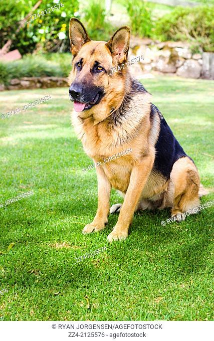 German shepherd dog learning obedience training when sitting on lush green grass in an Australian backyard