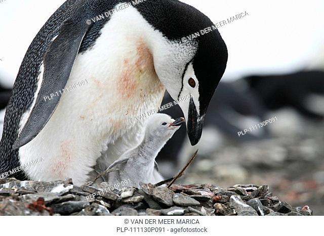 Chinstrap penguin Pygoscelis antarcticus with chick, Barrientos Island, South Shetland Islands, Antarctica