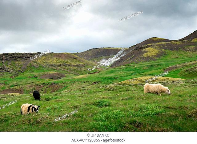 Three sheep peacefully eating grass on natural beautiful Iceland mountain