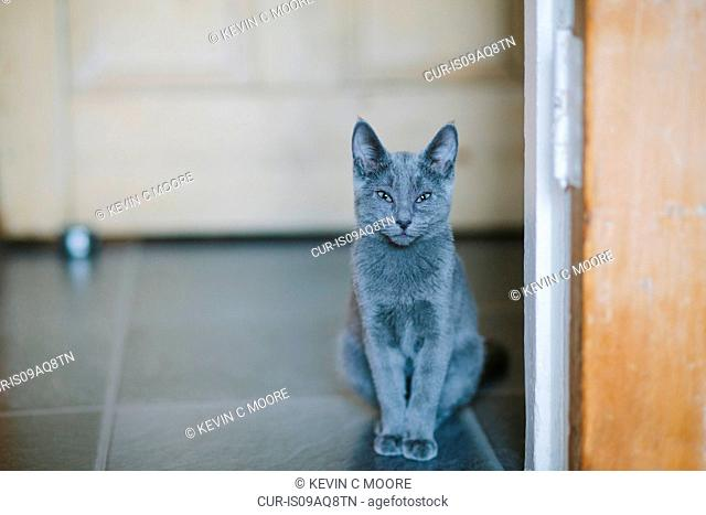 Russian blue cat looking at camera