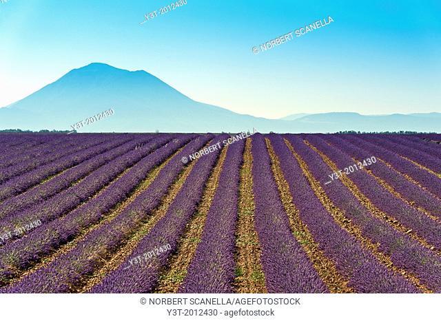 Europe, France, Alpes-de-Haute-Provence, 04, Regional Natural Park of Verdon, Valensole. Fields lavender