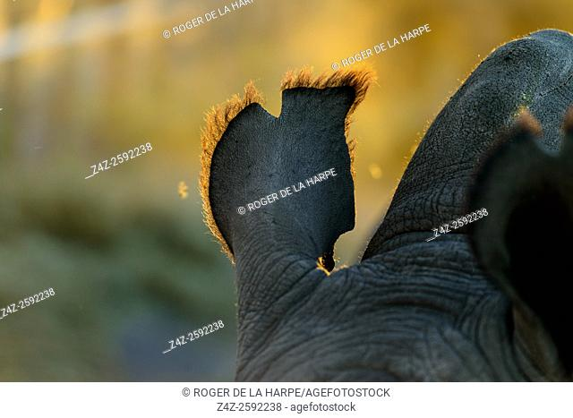 Detail of ear of white rhino or square-lipped rhinoceros (Ceratotherium simum). Okavango Delta. Botswana