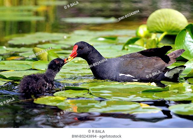 moorhen Gallinula chloropus, adult feeding a chick on the water among water-lilies, Germany