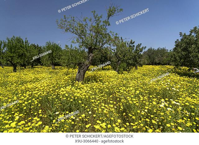 Spring meadow with yellow flowers, Majorca, Balearic Islands, Spain