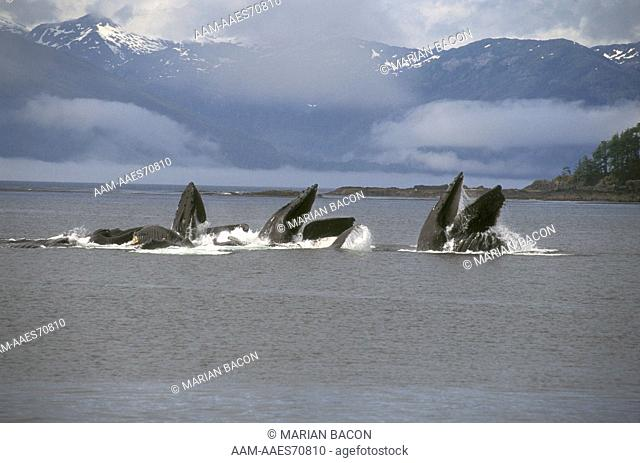 Humpback Whale Bubble-net feeding - Fred. Sound Alaska (Megaptera novaeangliae)