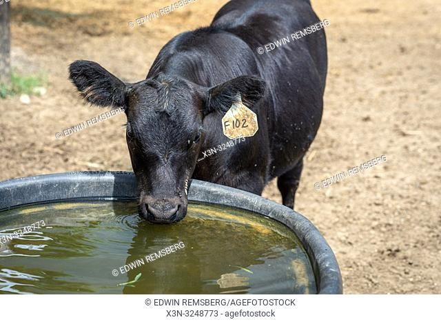 Angus cow takes a drink of water from trough, Valley Lee, Maryland