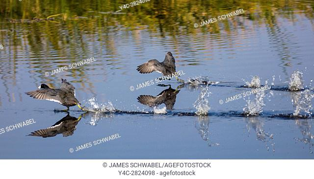 American Coot running across water prior to flying on. Lake Okeechobee in Central Florida