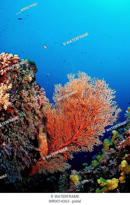 Red Sea Fan, Similan Islands, Thailand