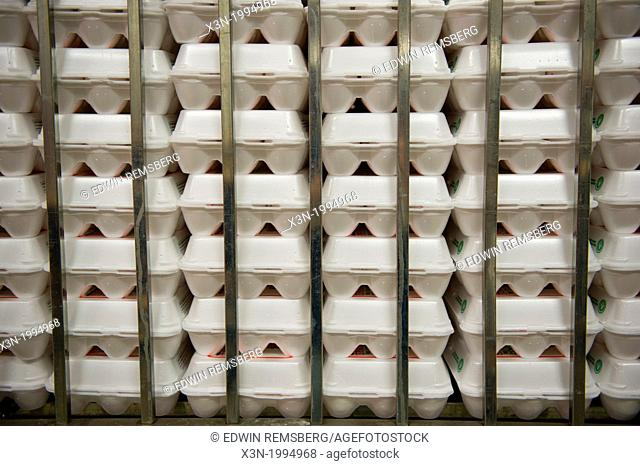 Eggs sorted in cartons on a conventional production commercial egg farm, Maryland USA