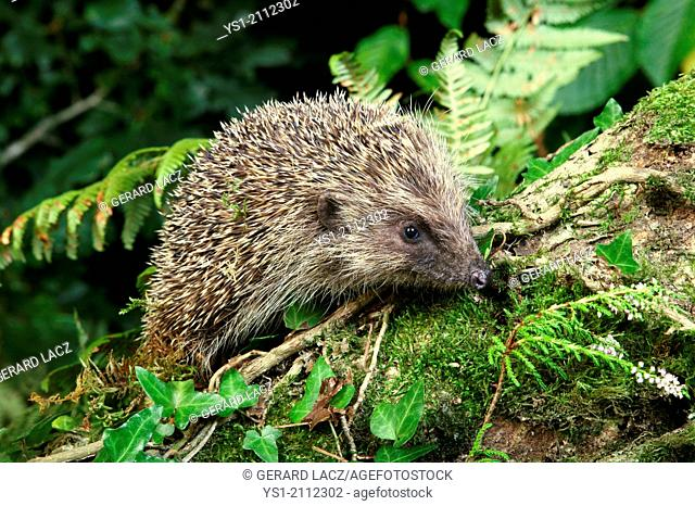 European Hedgehog, erinaceus europaeus, Normandy
