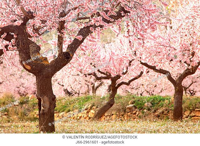 Almond blossoms at the end of summer in Alcublas. Valencia. Spain