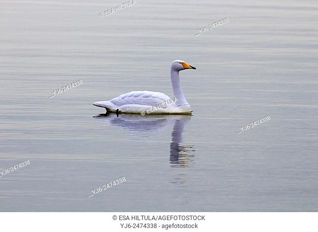 plastic whooper swan floating on water