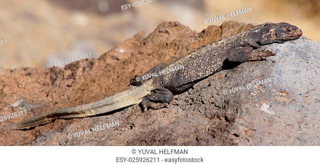 Common Chuckwalla, spotted in Fossil Falls, located in the Coso Range of California