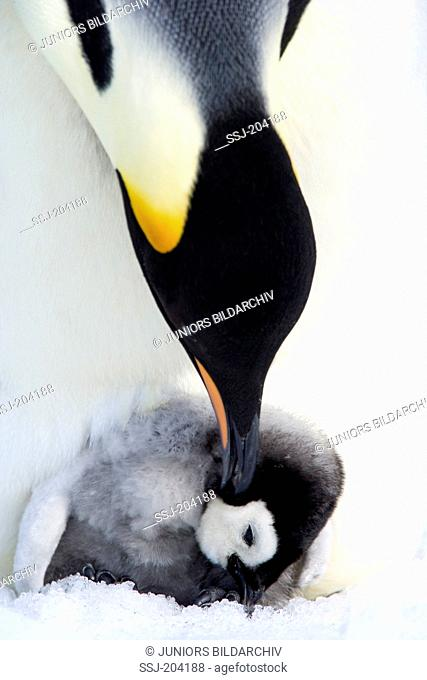 Emperor Penguin (Aptenodytes forsteri). Adult touching chick gently with its bill. Snow Hill Island, Antarctica