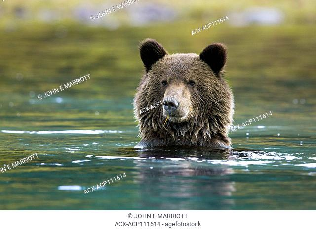 Grizzly bear cub, British Columbia, Canada