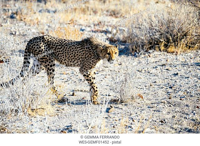 Namibia, Kamanjab, cheetah in the savannah