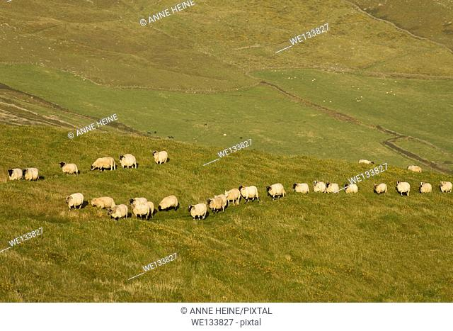 sheep in a row on meadow
