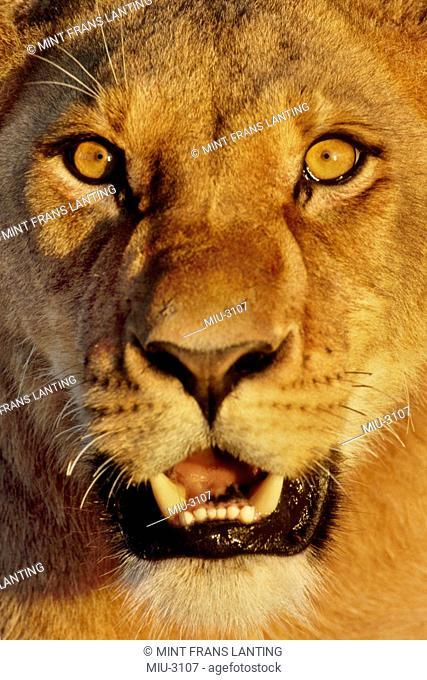 Lion face, Panthera leo, Chobe National Park, Botswana
