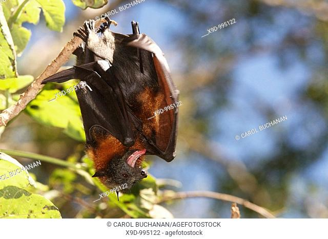 A pair of Grey Headed Flying Foxes, Pteropus poliocephalus  There is a juvenile tucked under the wing of the mother and she is flapping the wing rapidly to cool...