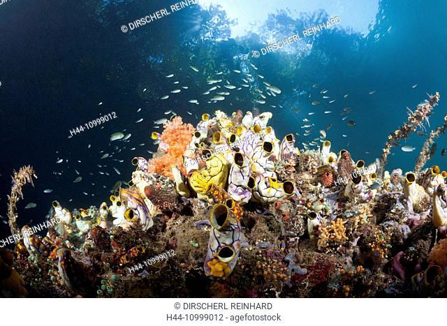Golden Sea Squirts near Mangroves, Polycarpa aurata, Raja Ampat, West Papua, Indonesia