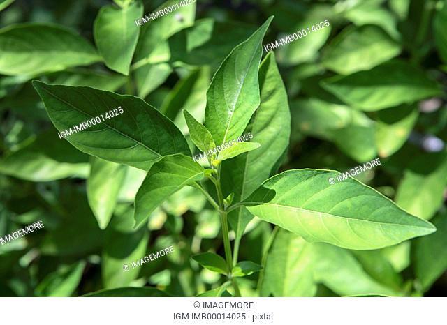White Crane Flower, Herbal Medicine