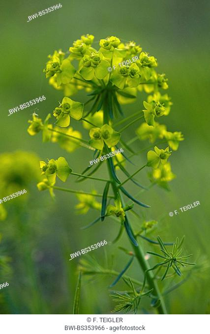 cypress spurge (Euphorbia cyparissias), inflorescence, Germany